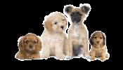 kisspng-puppy-pageant-registration-poodle-pet-cat-puppies-transparent-background-png-png-arts-5b660d128458f5.2419624115334146745421